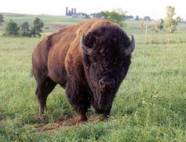 bison_bull_photo